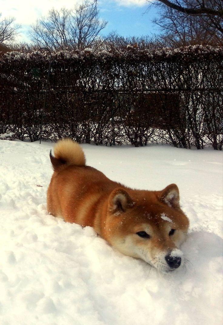 Shiba inu in snow