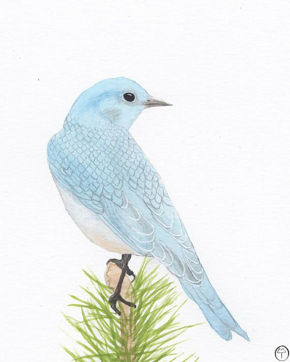 Bluebird watercolor mountain bluebird on pine art print