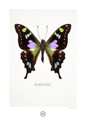 Billede af Lilla plettet svalehale illustration - Graphium weiskei