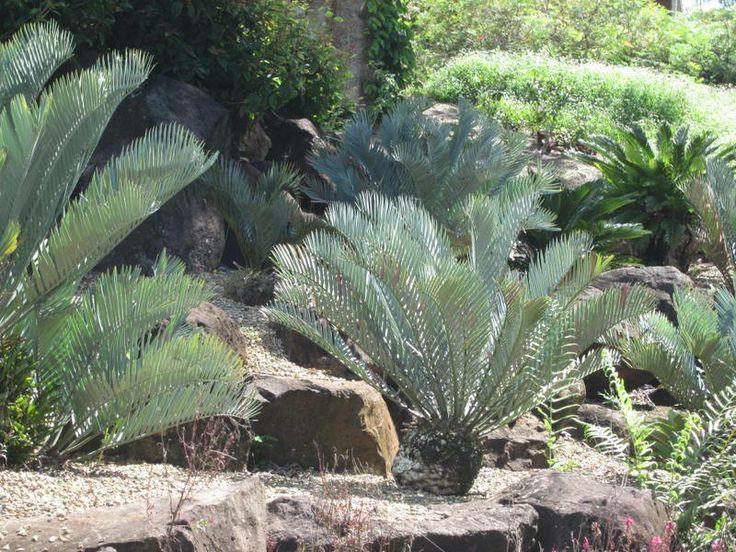 Cycads at Maleny Botanical Gardens