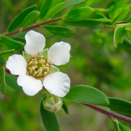 Meet the Ingredient: Tea tree oil. Found in our 100% plant-based Blemish Gel, this oil is a natural treatment for acne and gentle, without negative side effects of harsh chemicals like reddening and peeling of skin. #skincare