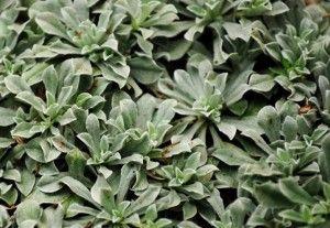 Кошачья лапка, или Антеннария двудомная (Antennaria dioica)