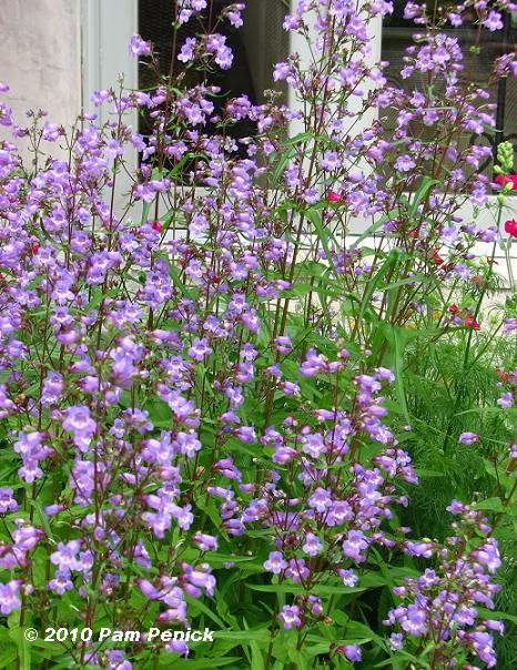 Gulf Coast Penstemon looks like a great back border for a ...