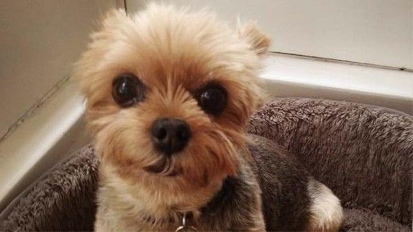 #MISSING ~~~ #CALIFORNIA ~~~ On 5/16/13 11y/o Walter was dog-napped from his backyard in #LosFeliz. Now the thugs who #stole him are demanding a ransom for his safe return. A miniature #Yorkshire #Yorkie terrier with  #SpecialNeeds & is #DEAF. His guardian, Tricia O'Kelley, is terrified for his well-being.The entire family is distraught & want nothing more than to have thier #STOLEN #Lost #Pet #dog returned safely. Anyone w/ information please call LAPD Hollywood Div. (213)972-2971