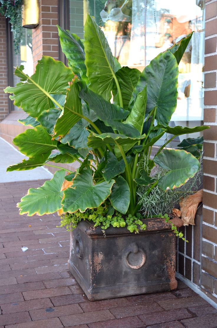 59 best images about container plants on pinterest gardens window boxes and hibiscus - Tropical container garden ...