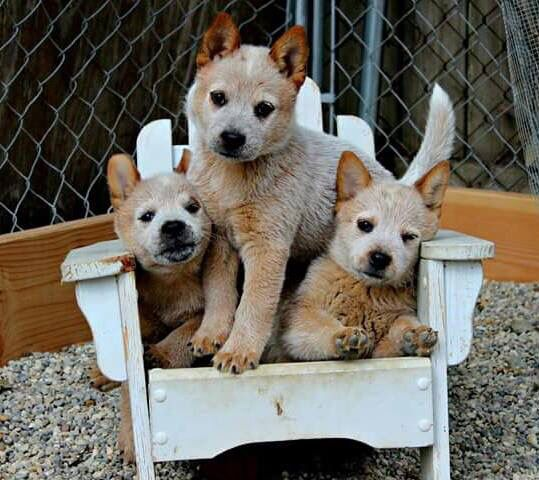 Must see Korea Chubby Adorable Dog - 069d7c82bdb9cc43cb92cb526c5d315d--cattle-dogs-to-cute  2018_885586  .jpg