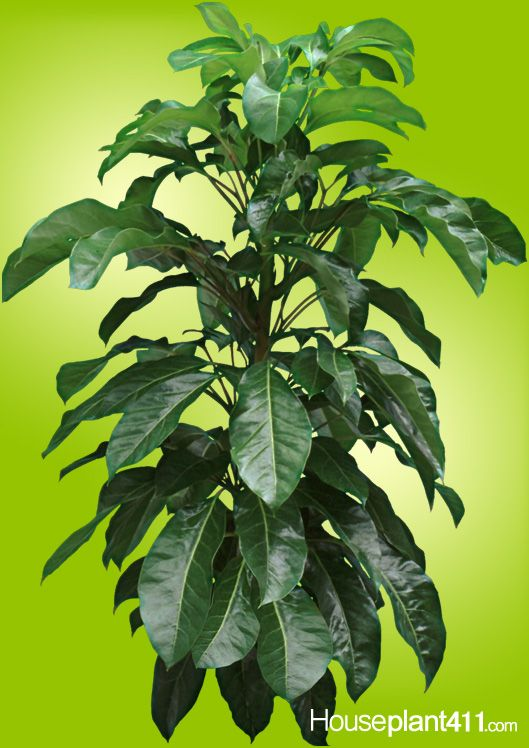 069db192d3ec178317f93889d3b29447 House Identify Plant By Leaf on house plant with heart shaped leaves, ash trees identification by leaf, vine identification by leaf, identify a plant leaf, house plant identification, vegetable identification by leaf,