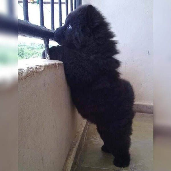 A Chow Chow Puppy. Look At The Belly And That Little Booty – IntradayFun   – Animals