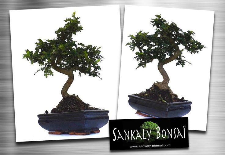 les 25 meilleures id es de la cat gorie faux poivrier sur pinterest bokeh fleur plantes de. Black Bedroom Furniture Sets. Home Design Ideas