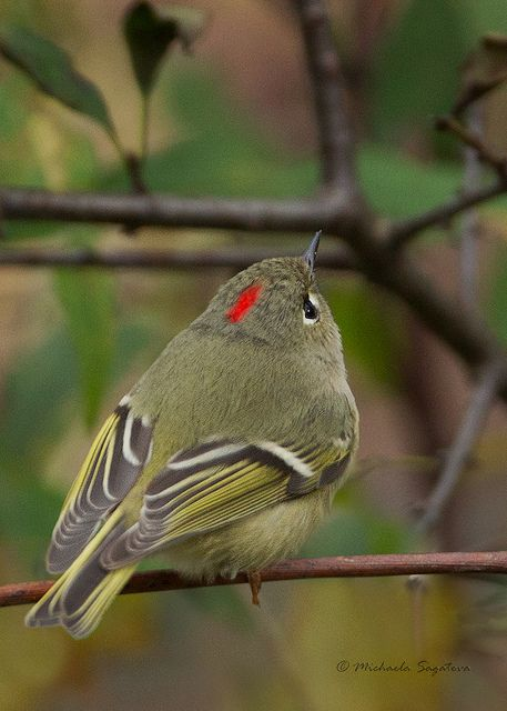 The Ruby Crowned Kinglet Regulus Calendula Is A Very