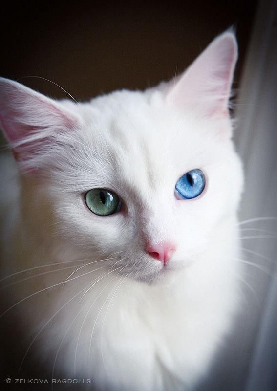 White Ragdoll Cat by Zelkova Ragdolls on 500px