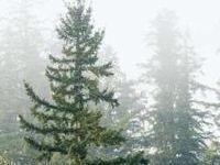 Cómo pintar árboles de hoja perenne