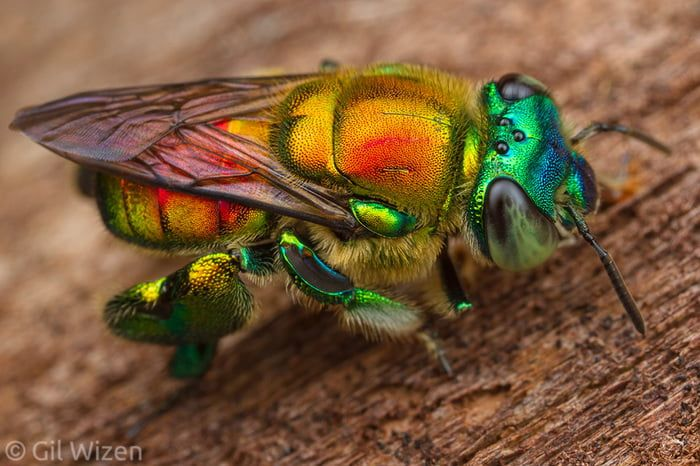 The Colorful Orchid Bee Bugs And Insects Bee Beautiful Bugs