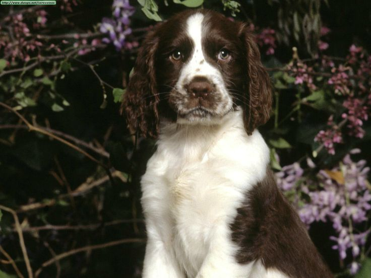 Good Cuby Chubby Adorable Dog - 069f2f0ab628c58d427eb48174be2350--springer-spaniel-puppies-spaniel-dog  Collection_131513  .jpg