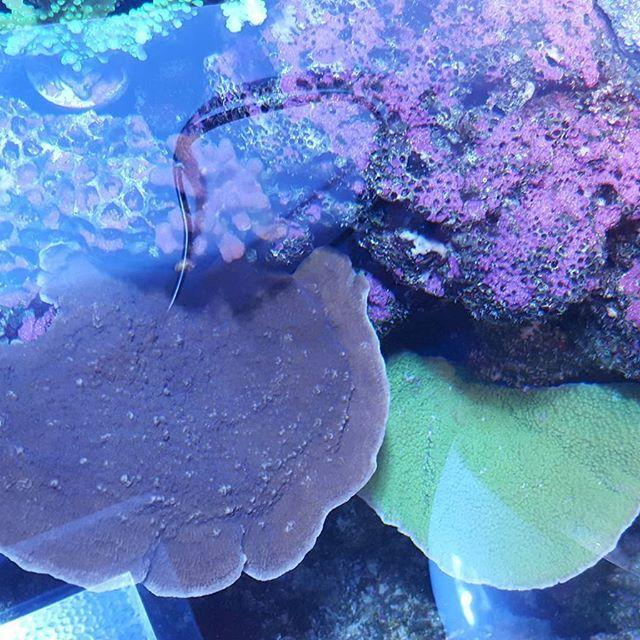 【fujisan2011】さんのInstagramをピンしています。 《ウスコモンパープル?とグリーン💕 あ、一応、海水やってます。最近アップしてないので念のため😅 テンション上がらないなぁ⤵⤵⤵ . #海水魚 #海水魚水槽 #海水魚飼育 #サンゴ #サンゴ水槽 #アクアリウム #マリンアクアリウム #ウスコモン #ウスコモンパープル #ウスコモングリーン #coral #corals #coraltank #aquarium #marineaquarium》