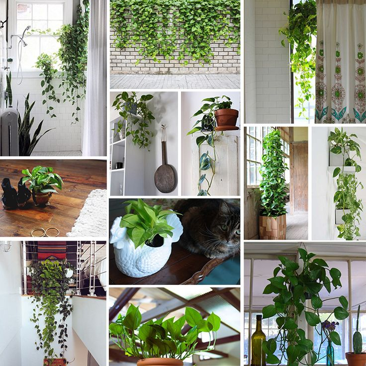 Pothos plant - great for: - hanging in windows (creates privacy) - bathrooms (can tolerate the low light and high humidity) - high windows (trailing leaves balance a high, awkwardly situated window) - low windowsills or counter space (spots that might otherwise accumulate junk) - high corner selves (help brighten-up a dark corner) - your cubicle (can tolerate artificial light - look for those with solid green leaves.