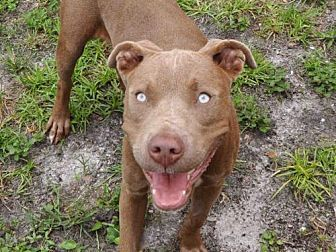 Fort Myers, FL - Pit Bull Terrier. Meet PHIL, a dog for adoption. http://www.adoptapet.com/pet/19169987-fort-myers-florida-pit-bull-terrier