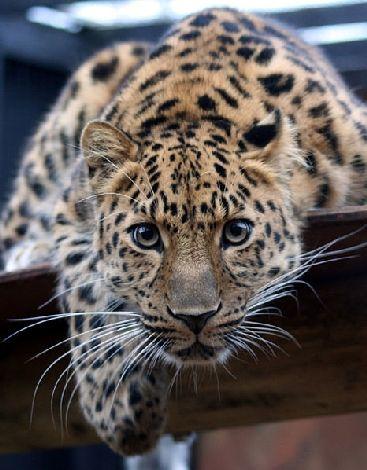 La panthère de l'Amour : l'une des espèces les plus rares du monde : La panthère de l'Amour, également appelée panthère de Chine ou léopard de l'Amour, est l'une des espèces animales les plus rares de la planète. Ce félin, menacé d'extinction par le braconnage, a vu sa population augmenter de 50% ces dernières années. Il est donc le grand vainqueur 2013 du palmarès annuel du WWF sur l'évolution des espèces menacées.
