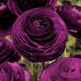 deep purple ranunculus I once planted Tulips that were this color