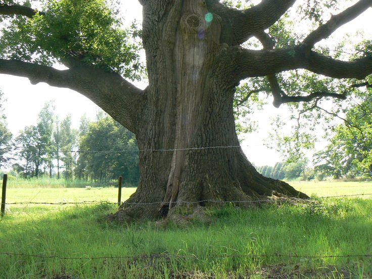 De oude eik van Sieverdink, Brinkheurne, Winterswijk