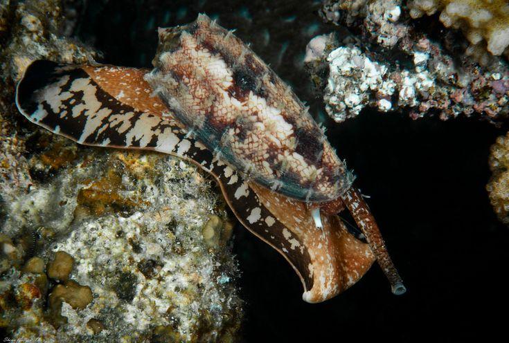 Conus geographus okinawa