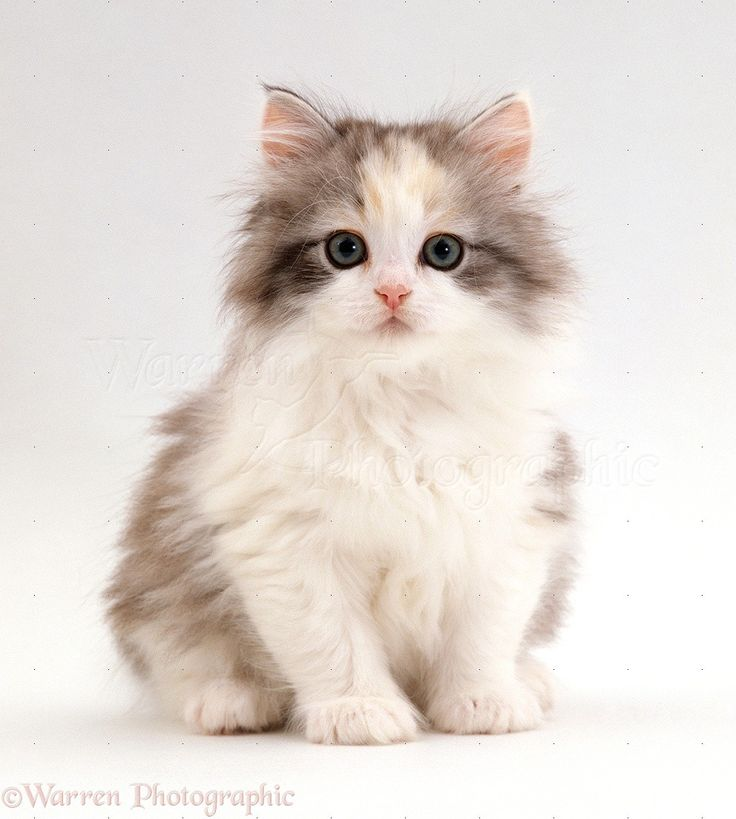 Cute White Fluffy Kittens Cuteness overload, animals are just the cutest :-*