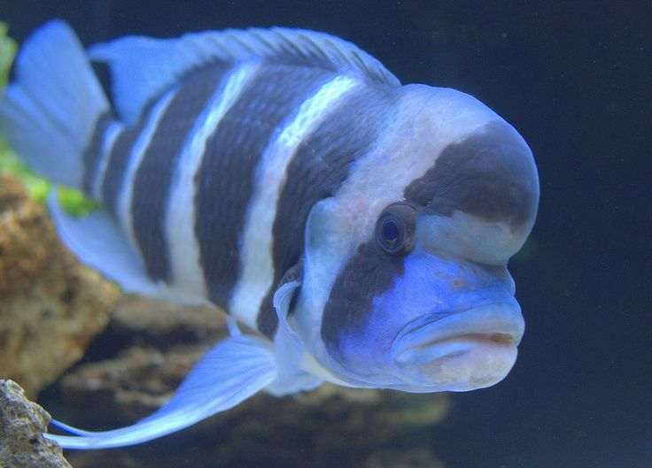 43 best images about frontosa cichlids on pinterest for Cichlid fish for sale