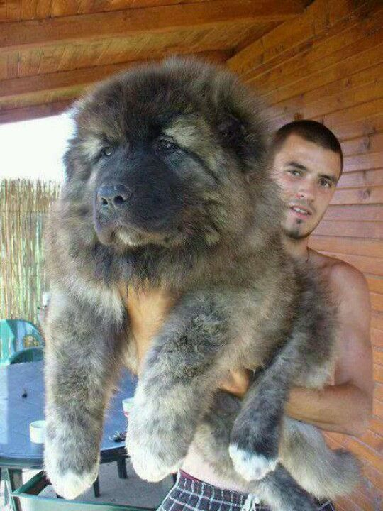 Tibetan Mastiff...this dog would make a great teddy bear! haha