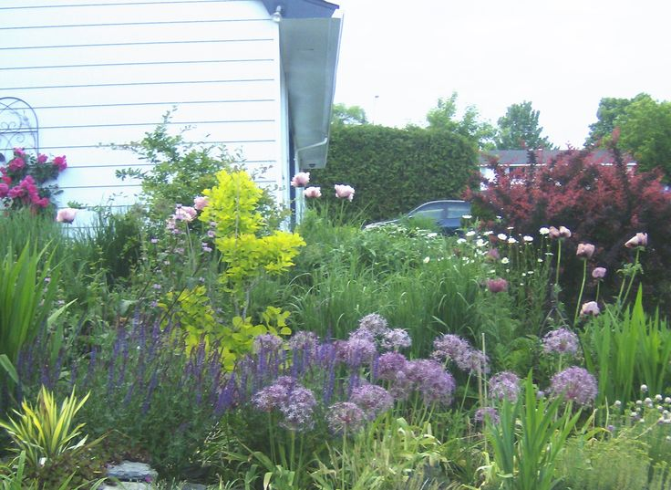 Harmony in green, chartreuse and purple: allium Christophii (front, center), Oriental Poppy Ruffled Patty (back) and Oriental Poppy Patty's Plum (right, in front of Berberis) strutt their stuff in mid Spring, while yucca Golden Sword, Cottinus Golden Spirit and sedum provide contrast and brightness.
