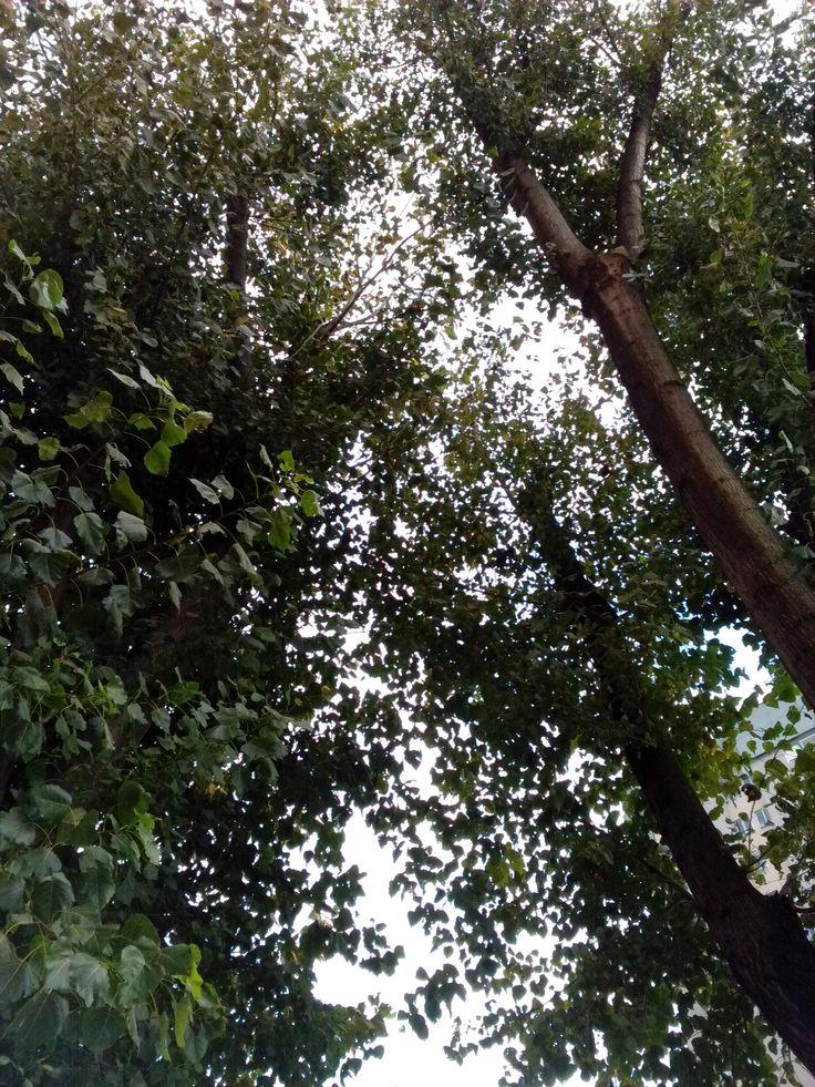 bebeteca. Árboles de hoja caduca en Noviembre en Vigo,todavía muy frondosos.