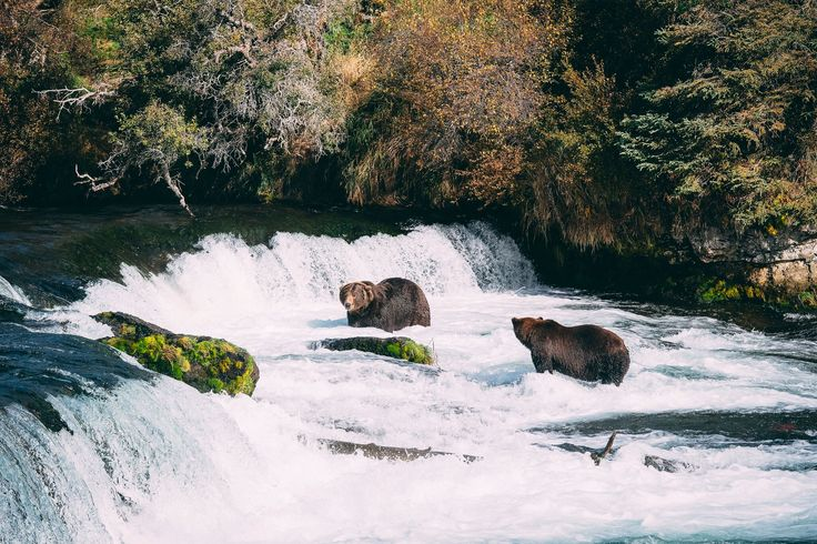 Grizzly bears fishing for lunch, Brooks falls, Alaska. Photo by Kirstin Scholtz