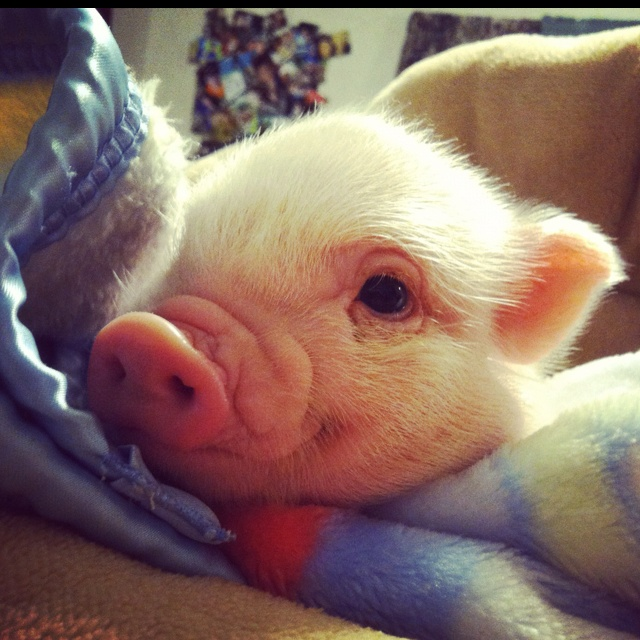 Mini potbelly pig my cousin just got one his name is kenny <3