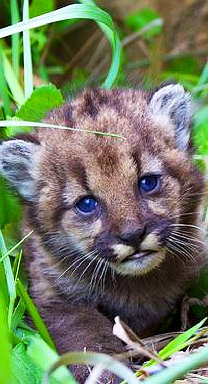 A mountain lion kitten born in the Santa Monica Mountains #animal pet wilderness wildlife cub puma cougar nature big cat cute