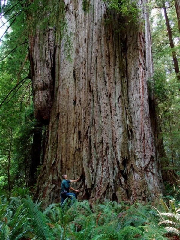 REDWOODS - Stout Grove, Crescent City, CA - So much awe-inspiring grandeur!