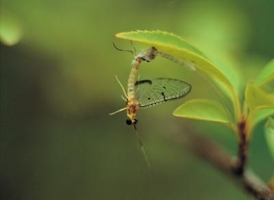 How to Get Rid of Mayflies