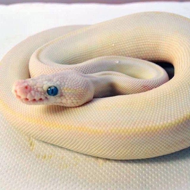 304 Best Images About Snake/morphs On Pinterest