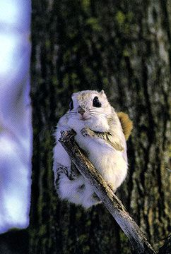 Momonga Dwarf Flying Squirrel. So Sugar Bush, Annabelle here. So did you know some of you guys can fly??? Cool!