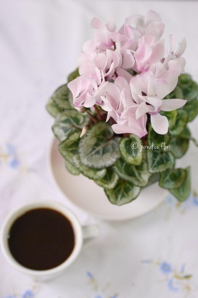#ceascacafea si #flori roz ciclamen #jurnalcuflori