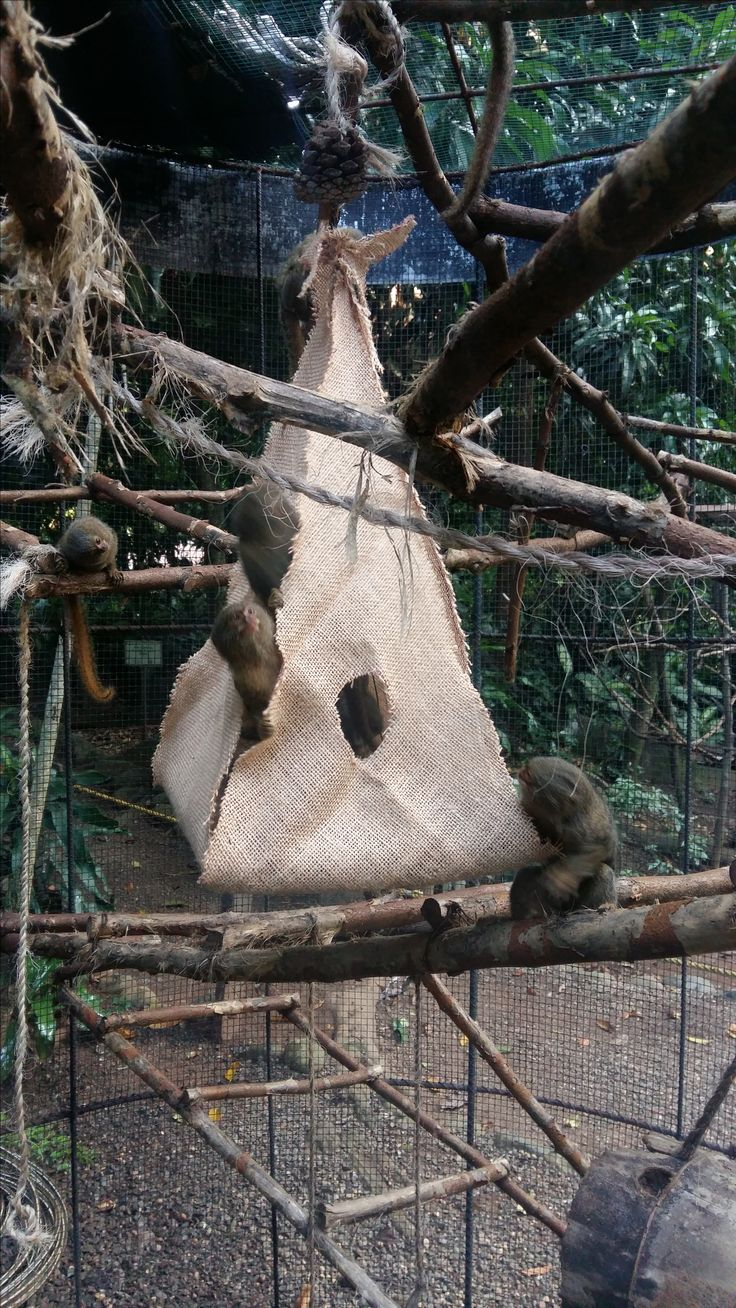 Here the Titi Leons interact with their weekly enrichment!