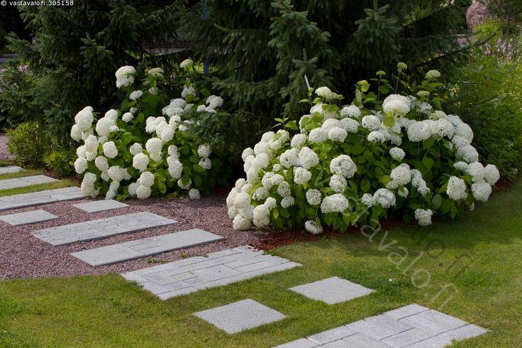 Hortensioita - Hydrangea paniculata Grandiflora syrenhortensia hortensiat hortensia syyshortensia valkoinen kukka perenna perennat puutahakukat puutarhakukka puutarha kivipolku kivilaatta kivilaatat laattapolku kivilaattapolku