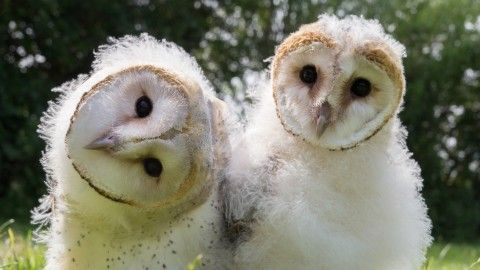 Owl Power ~ About | Nature | PBS (setting this aside to watch tomorrow ... or maybe tonight, sleep is for the weak)