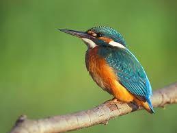 ledňáček říční -  malý ptáček žijící u pomalu tekoucích řek