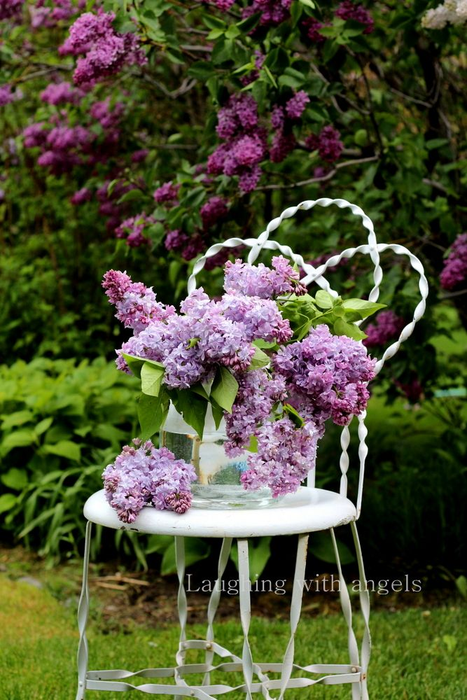 laughing with angels: my lilacs 2016