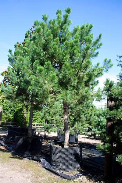 Pinus nigra ssp. nigra - Austrian pine - Tree Shrub - Majestic Trees