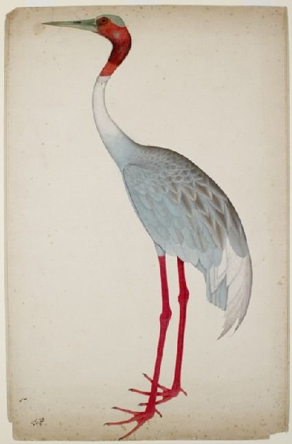 mughalshit:  Sarus Crane by Shaikh Zain ud-Din India (Kolkata), Mughal, c. 1770 - 1785 Gouache on paper  Found in northern parts of the subcontinent, the sarus crane is India's largest bird, the males sometimes measuring two metres high. Usually living in pairs, these cranes became proverbial in folklore for their conjugal fidelity. The emperor Jahangir (1605-1627) kept a pair, which he named after the legendary lovers Laila and Majnun. Shaikh Zain ud-Din's half life-size depiction of this…