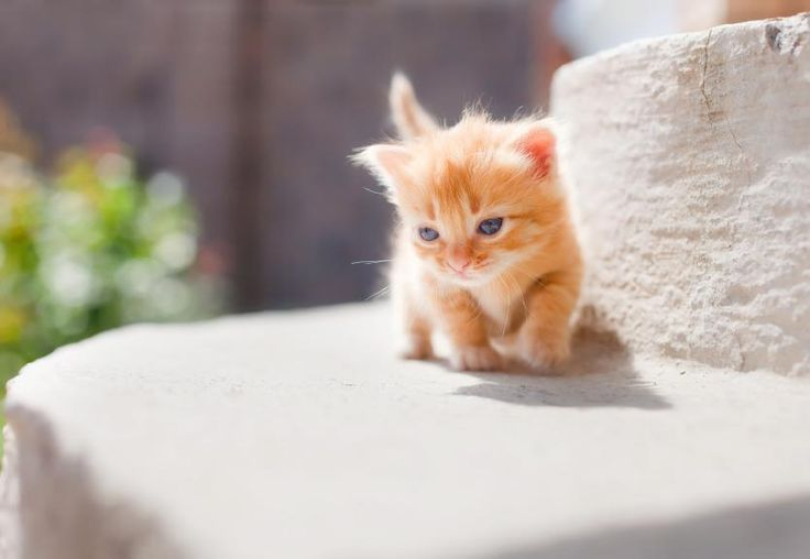 The Munchkin comes in just about any color or pattern you can imagine in a cat. There are tabby cats, solid colored felines and even calicos.