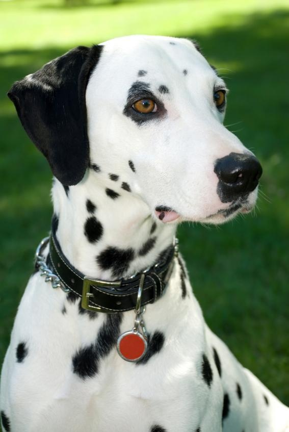 love dalmations too!!