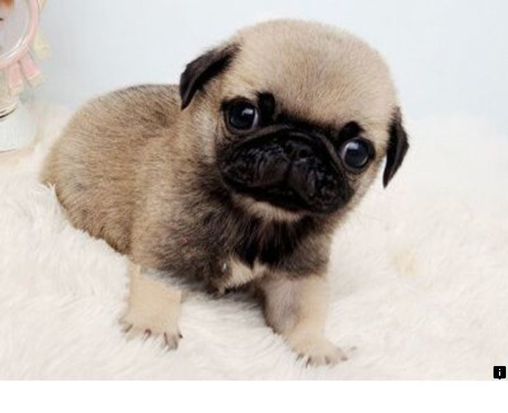 Just Click The Link For More Info Pug Breeders Follow The Link