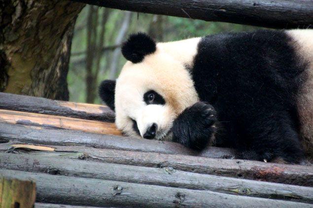 Osos Panda, icono chino