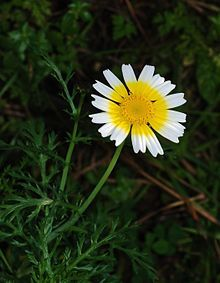 Glebionis coronaria, formerly called Chrysanthemum coronarium, is a species of flowering plant in the aster family, Asteraceae. It is native to the Mediterranean and East Asia. It is used as a leaf vegetable. English language common names include garland chrysanthemum,[2] chrysanthemum greens,[2] edible chrysanthemum, chop suey green,[2] crown daisy,[2] and Japanese-green.[2]